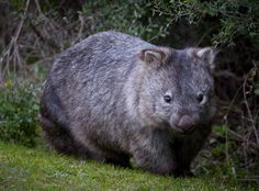 Wombats dig their burrows using their powerful claws and sharp rodent-like front teeth. They build large warrens of tunnels underground. Cute Wombat, Common Wombat, Rare Animals, Strange Animals, Australia Animals, Pet Rats, Cute Funny Animals, Exotic Pets, Animals Beautiful