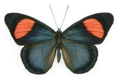Batesia hypochlora, Brush-footed Butterfly
