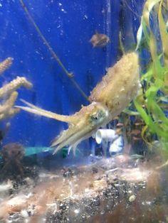 Dwarf cuttlefish ready for lunch.