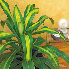 These easy to care for and low maintenance indoor plants are a great way to add a little bit of nature and green into your home without having a huge responsibility to keep the plants thriving. Pick from our gallery of houseplants that include common container plants that will perfectly accent your living room, bedroom or entryway.