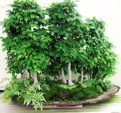 Bonsai Forest from bonsai-made-easy.com
