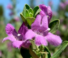 Leucophyllum_Frutescens_Texas_Sage_Cenizo_Drought_Tolerent_Water_Wise_Xeriscape