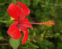 Hibiscus by chas.eastwood, via Flickr