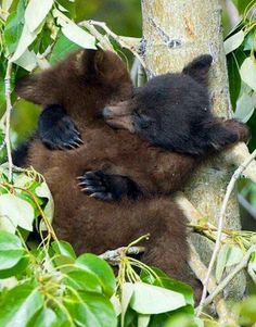 """""""The idea of wilderness needs no defense."""" ~ Edward Abbey Black Bear Cubs Sleeping These cubs, started wrestling in this cottonwood tree, then promptly fell asleep in the middle of their play! Cute Baby Animals, Animals And Pets, Funny Animals, Wild Animals, Baby Pandas, Beautiful Creatures, Animals Beautiful, Black Bear Cub, Bear Cubs"""