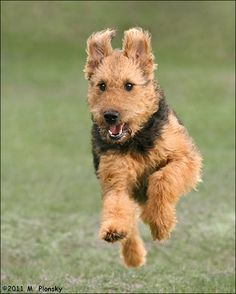 Airdale Terrier Running by ~mplonsky on deviantART