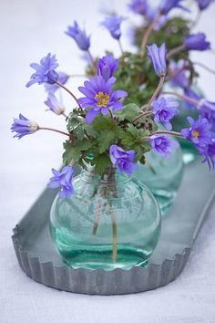 Anemone blanda 'Blue Shades' I love the blue glass with the purple flowers My Flower, Fresh Flowers, Purple Flowers, Beautiful Flowers, Cactus Flower, Exotic Flowers, Yellow Roses, Pink Roses, Vase Transparent
