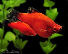 Red Wag Platys (fresh water fish)