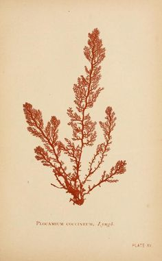 Plocamium coccineum  From: 'Sea mosses a collector's guide and an introduction to the study of marine Algae' By A. B. Hervey. Published 1893