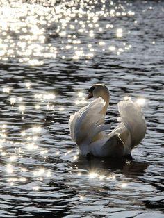 An Elegant Swan ~ On A Sunlit-Diamond Sparkling Lake.