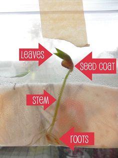 """ziplock bag seed germination  """"a garden in my pocket"""""""