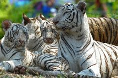 Three six-month old Indian white tiger cubs are pictured with their mother Sameera (R) at their enclosure at the Nehru Zoological Park in Hyderabad on March 29, 2014. The three cubs, which have yet to be named, were presented for their first public viewing at the zoo. (Noah Seelam/AFP/Getty Images)