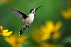 Flight of Fancy, Hummingbird Art, Nature Photography, Wall Art, Hummingbird in…