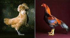 """These are real chickens, people.  I don't make this stuff up.  From Tamara Staples, """"The Fairest Fowl"""" book."""