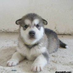 Malamute Puppies   More Cute Than Cute