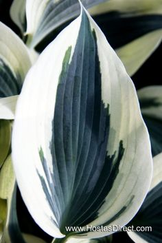 Hosta 'Blue Ivory' – Shade garden, beautiful and different! We are want to say thanks if you like to share this post to another people via your facebook, pinterest, google plus or twitter account. Right Click to save picture or tap and hold for seven second if you are using iphone...
