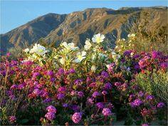 El desierto de Atacama el más árido de la Tierra se llena de flores entre los meses de octubre y noviembre. Sucede cuando llueve algo más de lo normal floreciendo alrededor de 220 especies la mayoría de carácter endémico.