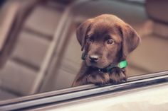 Perfect chocolate pup, love