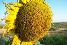 Nothing......... Like the smell of a big ol Sunflower...