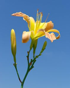 Oklahoma City Oklahoma  Yellow Day Lilly. Meet. Blue sky. . . . . . . . . . . . . . . . . . . . . . . . . . . . . . . . . : : #bayleaforiginals #okc #oklahoma #bayleaforiginalsNature #top_macro #teampentax #naturegram #nature_brilliance #oklahomaskies #nature_of_our_world #nature_perfection #naturelovers #naturephotoportal #insta_pick_blossom #flowerstagram #flowerstyles_gf #flowersofinstagram #nature_shooters #daylillies #watchthisinstagood #ig_color #natureonly #nature_wizards #natureart…
