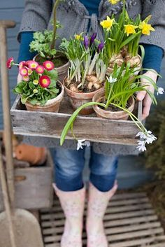 Tray of potted bulbs and spring flowers
