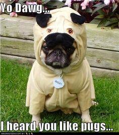 a pug in a pug