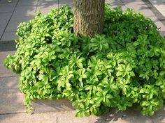Varjoyrtti, Pachysandra terminalis Green Carpet