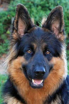 oud duitse herder verwacht – Puppy te Koop