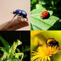 Insetos benéficos para o jardim. Normalmente temos tendência a pensar que os insetos são prejudiciais para as hortas e jardins porque atacam e danificam as nossas plantas, mas na realidade não é bem assim. É certo que existem numeros...