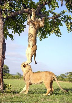 Echo the lion at Antelope Park, Zimbabwe getting some help from his brother after becoming stuck up tree. Picture by David Jenkins.
