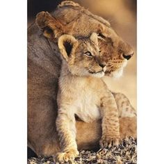 Amazon.com: Animals Posters: Lion - Lion And Cub 2 - 35.7'x23.8' Photography Poster Print, 24x36: Home & Kitchen