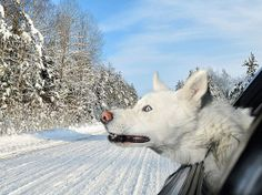 Husky in a hybrid? A white Siberian husky leans out of a window White Siberian Husky, White Husky, Siberian Huskies, Dog Photos, Dog Pictures, Animal Tatoos, Funny Animals, Cute Animals, Animals Dog