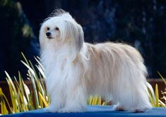 curly Chinese Crested Powder Puff   Chinese crested dog