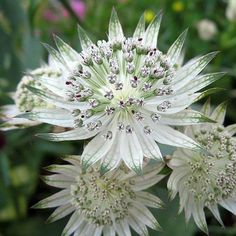 Astrance, Astrantia major Shaggy 60 cm, flowers June to September. Green Flowers, White Flowers, Beautiful Flowers, Herbaceous Perennials, Hardy Perennials, Astrantia Major, Woodland Plants, Woodland Garden, Border Plants