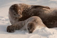 Learn all you wanted to know about Weddell seals with pictures, videos, photos, facts, and news from National Geographic.