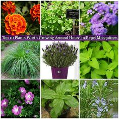 Top 10 Plants Worth Growing Around House to Repel Mosquitoes, good planting idea for home improvement and summer fun.  #gardening, #tips, #plants
