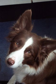 My dream dog: a red & white Border Collie