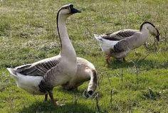 Картинки по запросу редкие породы гусей