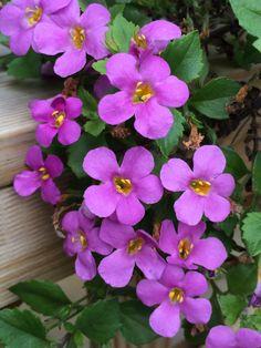 Lilac little flowers