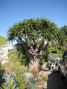 Giant Tree Aloe , Aloe barberae, Growing in Berkeley, California for a long time.  Best one I have ever seen!