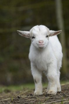This little sweetie who might be the cutest ever. - 10 Farmed Animals Who Were Almost Too Happy