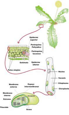 Plastos - Só Biologia