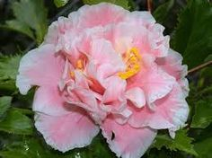 Camellia Francis Eugene Phillips