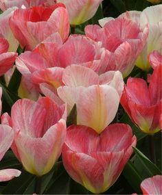 Tulip Flaming Purissima - Emperor Tulips - Tulips