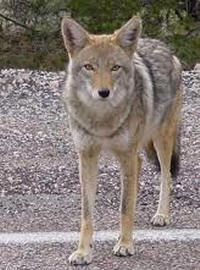 Coyote hunting is currently unrestricted in New Mexico. History shows that hunting coyotes does not prevent livestock predation and allowing unchecked hunting hurts coyotes and farmers alike. Ask New Mexico to regulate coyote hunting before it's too late. Coyote Hunting, Predator Hunting, Pheasant Hunting, Archery Hunting, Hunting Baby, Images Google, Bing Images, Wild Dogs, Animal Totems