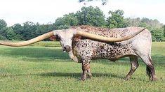 Animals With Horns, N Animals, Rare Animals, Animal Spirit Guides, Spirit Animal, Beautiful Creatures, Animals Beautiful, Bull Pictures, Different Types Of Animals