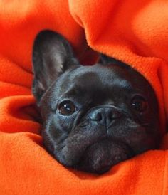 Peek-a-boo mommy! Theo the French Bulldog ❤️ Cute Puppies, Cute Dogs, Dogs And Puppies, Doggies, Cute French Bulldog, French Bulldog Puppies, Teacup French Bulldogs, Baby Animals, Funny Animals