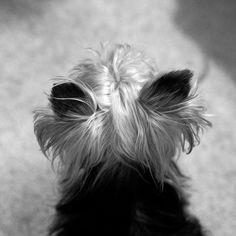 Sweet Yorkie ears. ❤️