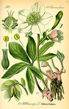 Kerstroos (Helleborus)
