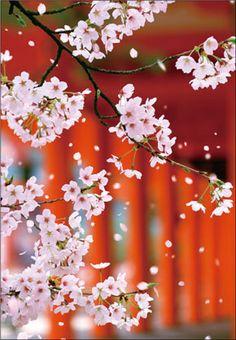 Sakura in Kobe  from www.pinup.jp