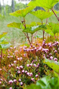 Karpalo kukkii - karpalo isokarpalo suokasvi punainen kukka kukkiva kukkarykelmä suomätäs karpalonkukka